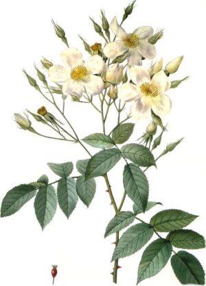 Růže mošusová olej 50ml BIO