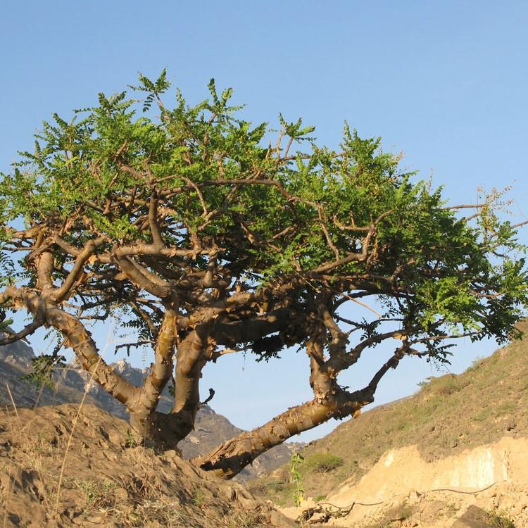 Myrha Commiphora myrrha esenciální olej účinky a použití