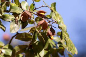 Esenciální olej Kopaiva/ Kopál - aromaterapie Byliny&Tradice
