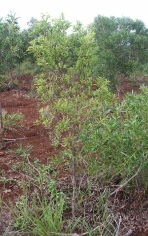 Santalové dřevo 5ml