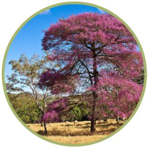 Růžové dřevo BIO 5ml